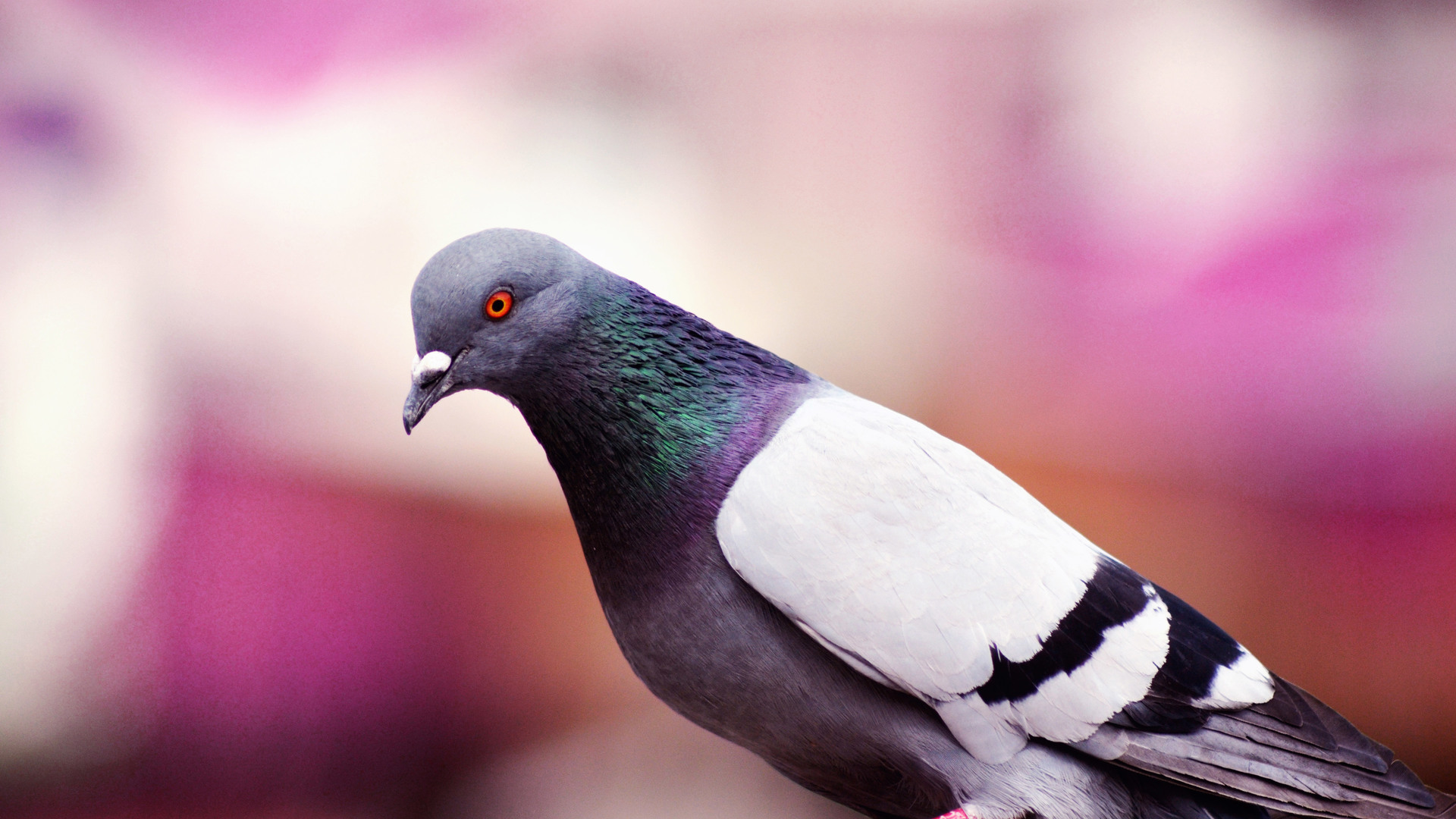 Окунитесь втяжелые будни городского голубя ссимулятором голубя